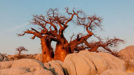 Los legendarios baobabs de África se mueren y nadie sabe por qué