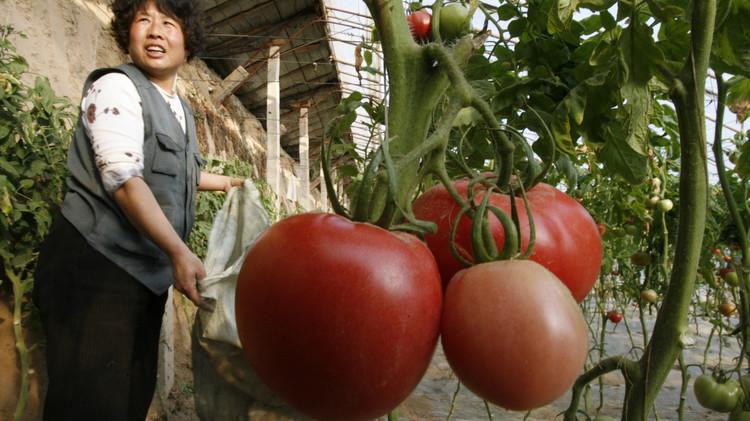 Как заработать на выращивание помидор 249