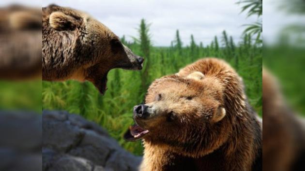 Descubren plantación de marihuana custodiada por osos amaestrados