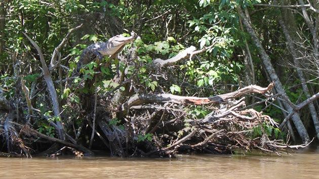 ¿Cocodrilos con alma de mono?: Observan que trepan a los árboles para tomar el sol