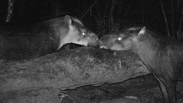 Descubren al mamífero terrestre más grande del siglo en las selvas de Brasil y Colombia