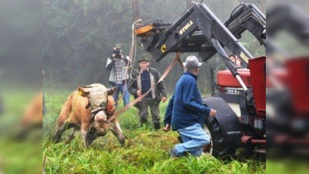 La vaca fugitiva Ivonne vuelve al redil, pero evita el matadero