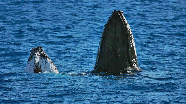 """Balada triste de uma baleia solitária, """"canta"""" em uma freqüência Inédito"""