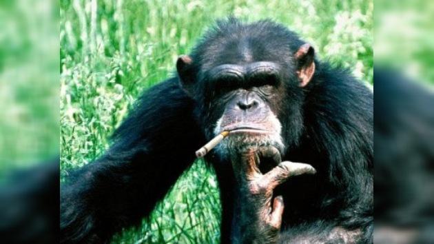 Chimpancé fumador es rescatado en el Líbano y enviado a Brasil