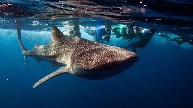 Video: Un drone capta cómo un grupo de tiburones ballenas se deleitan con plancton