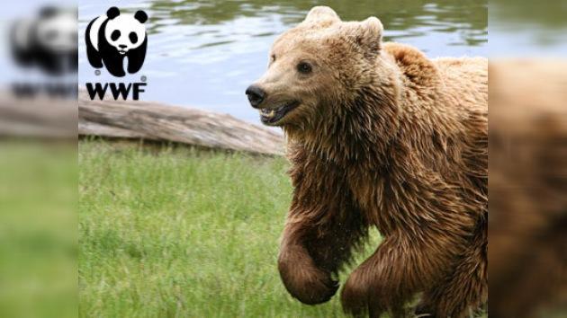 WWF lanza una campaña para prevenir la extinción de los osos rumanos