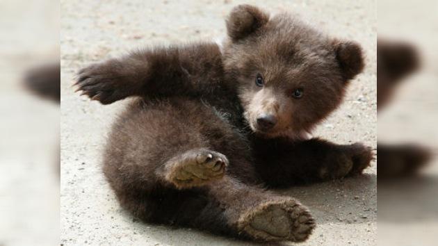 Hallan un oso de 3 meses atado bajo un sol abrasador en el centro de Moscú