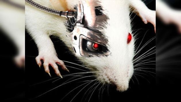 Un poco más cerca del 'ciborg': crean substituto electrónico del cerebelo de una rata