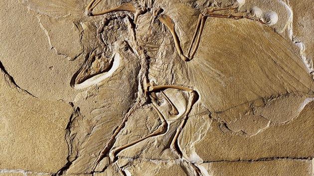 Hallan en China a un fósil de un dinosaurio probable primer ancestro de las aves