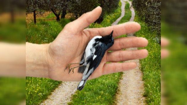 La misteriosa epidemia por la que las aves caen del cielo, ahora en Italia