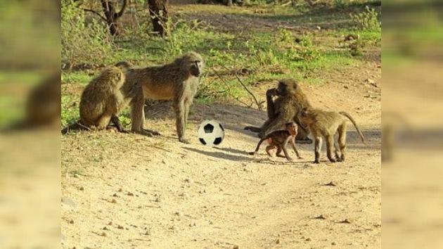 Los babuinos salvajes, amenaza para los seguidores del Mundial de Sudáfrica