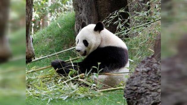China demanda a Japón por la muerte de un panda