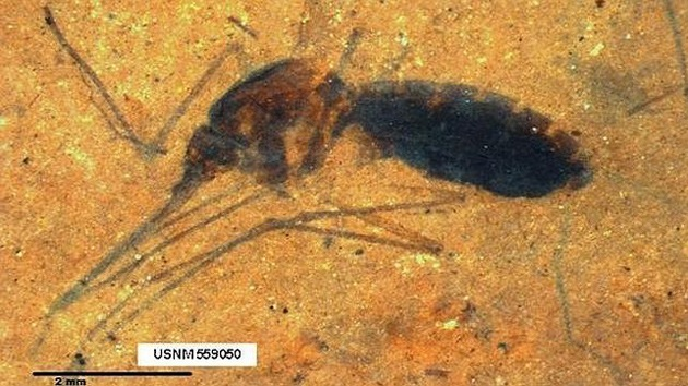 Hallan el fósil de un mosquito con sangre de hace 46 millones de años