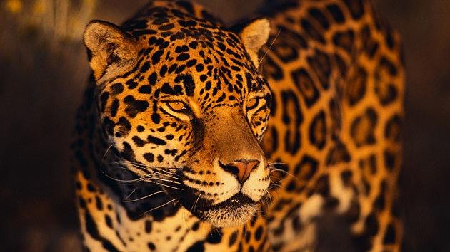 Paso de cebra para el jaguar: Argentina crea corredores para evitar atropellos de animales