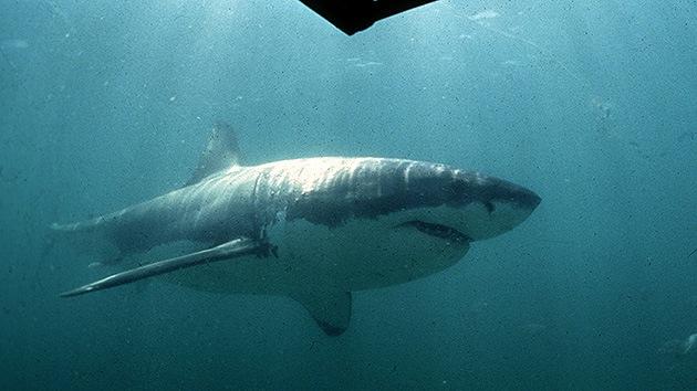 Australia captura a la madre de todos los tiburones blancos: 5 metros y 1,6 toneladas