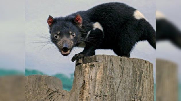 El pequeño diablo de Tasmania se enfrenta a su desaparición