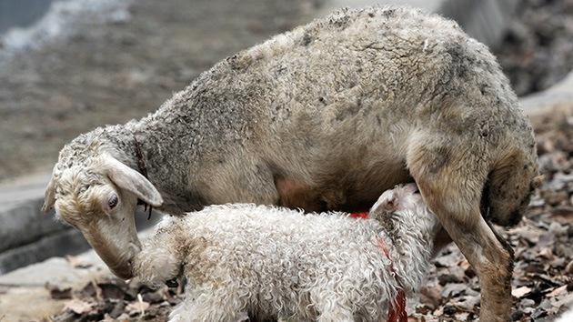 Nace la oveja-araña: un cordero mutante con ocho patas y tres ojos sorprende a Kazajistán