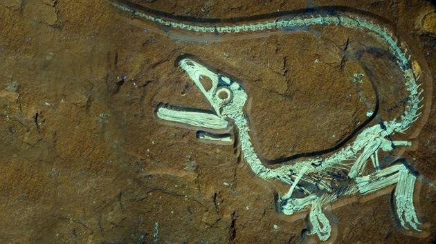 Hallan en Alemania el fósil de un dinosaurio emplumado