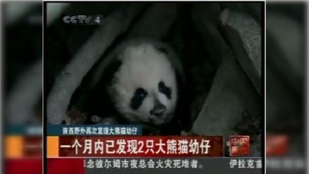 Nació un cachorro de panda en China