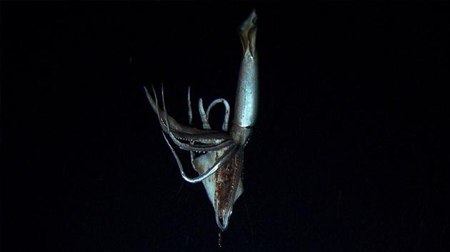 Filman por primera vez a un calamar gigante en el fondo del Pacífico