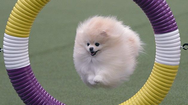Los perros de la exposición canina más prestigiosa de EE.UU.