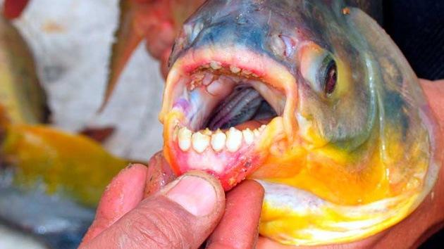 Alerta en las aguas de Escandinavia por el 'Hannibal Lecter' de los peces