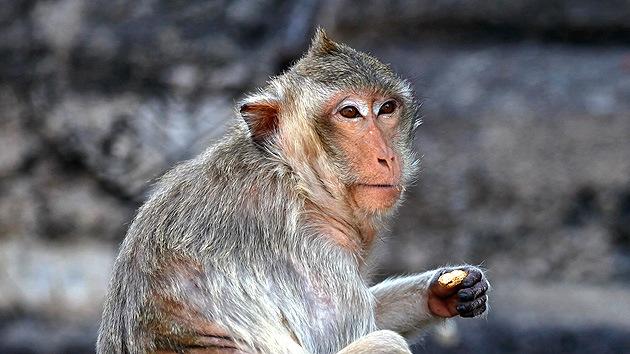 China usa macacos para mantener segura una base militar
