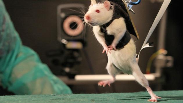 Recuperación milagrosa: ratas paralíticas vuelven a correr
