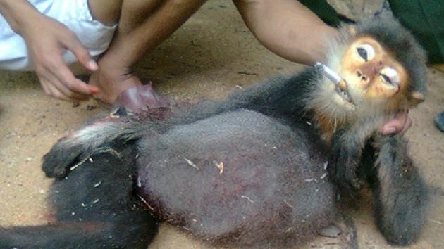 Crueldad bestial: militares vietnamitas obligan a fumar a monos amenazados