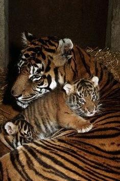 13 países se unen para salvar a los tigres