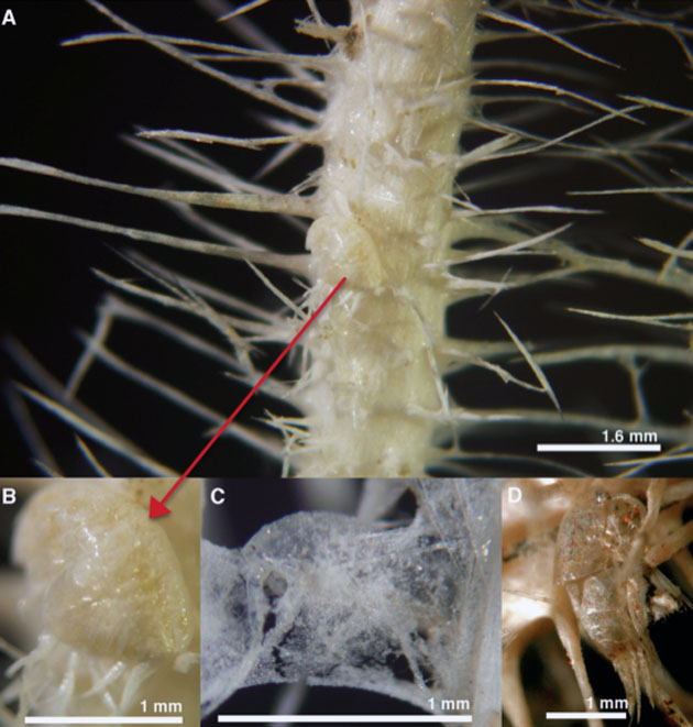 Descubren nuevas especies de esponjas asesinas