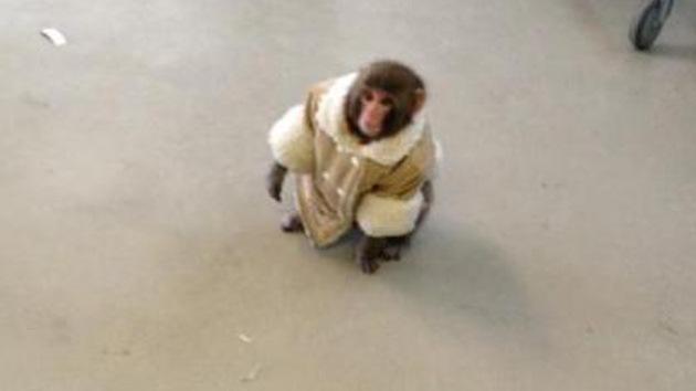 Video: Un mono vestido de invierno aparece en un Ikea canadiense