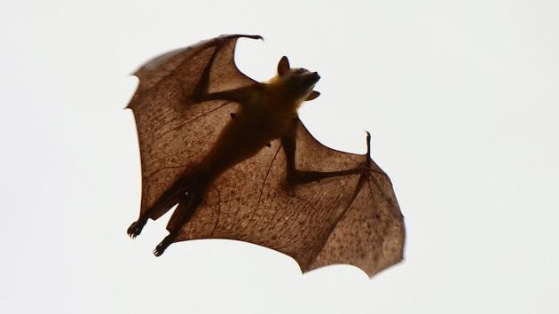 Las colonias migratorias de murciélagos de la fruta son portadoras del ébola