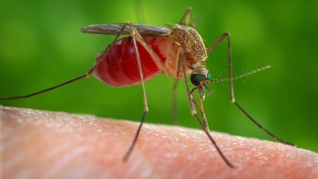 ¿Qué factor genera en los mosquitos su implacable deseo por la sangre humana?