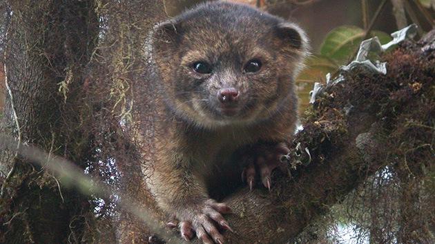 Conozca el olinguito, el primer carnívoro descubierto en América en 35 años