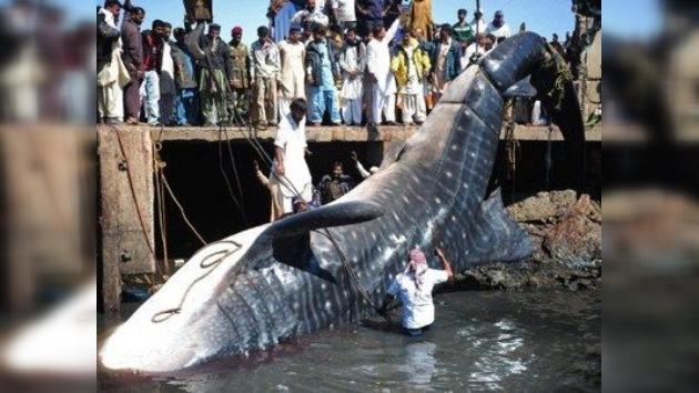 Pesca sorpresa: sacan muerto a un tiburón ballena de 12 metros en Pakistán