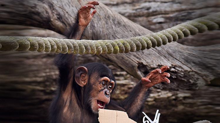 La ciencia 'tira de la lengua' a los monos: Distinguen raíces y sufijos y tienen dialectos