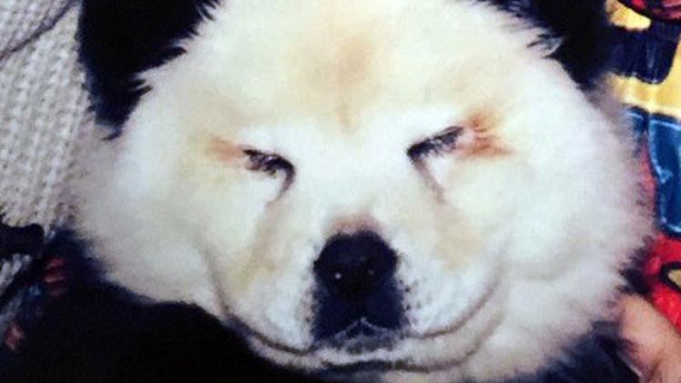 Perro por oso: Circo italiano hace pasar chow chow por pandas