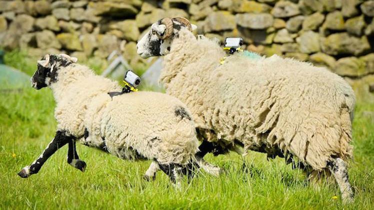 ¿Podrían las ovejas servir como puntos de acceso a Wi-Fi en las zonas rurales?