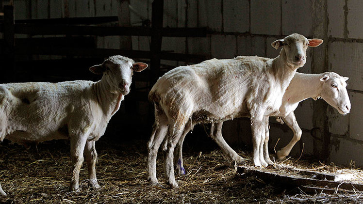 Un laboratorio de EE.UU. tortura brutalmente a animales para vender su carne