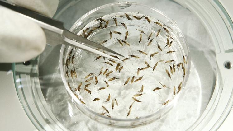 Millones de mosquitos genéticamente modificados podrían ser liberados en EE.UU.