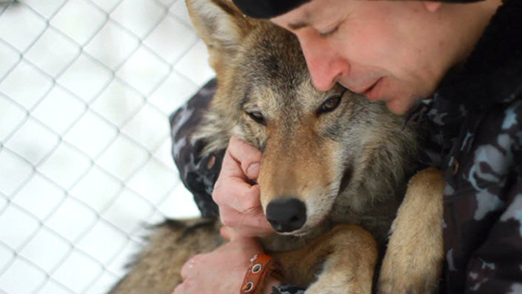 VIDEO: Conozca a Hanti, la loba salvaje rusa que se cree una mascota