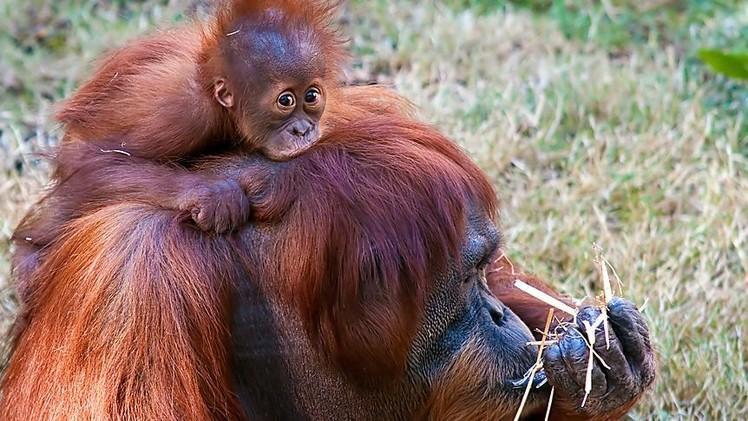 Detectan entre primates el mismo principio que rige en las redes sociales