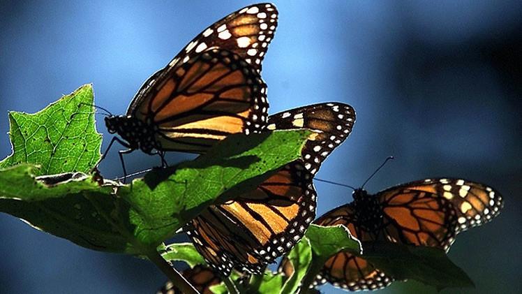 Las mariposas monarca
