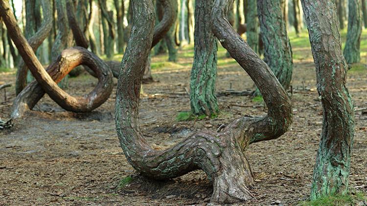 El bosque 'borracho'