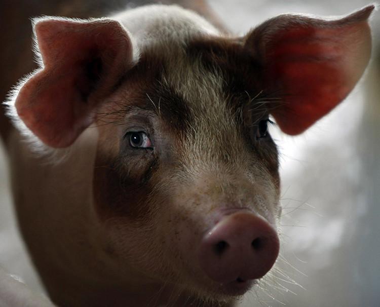 Guerra del cerdo