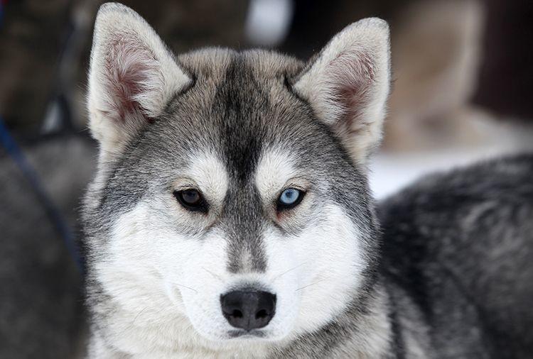 Enfermedades de perros - Descamación en perros