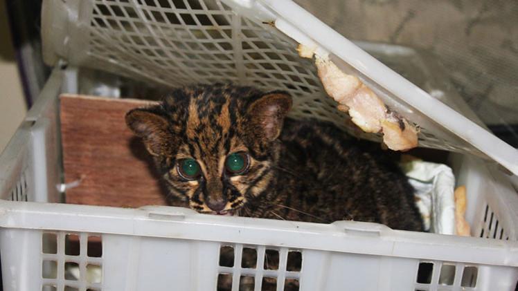 Serpientes, cocodrilos y un gato: Mujer trata de ingresar a Rusia con 108 animales en su maleta