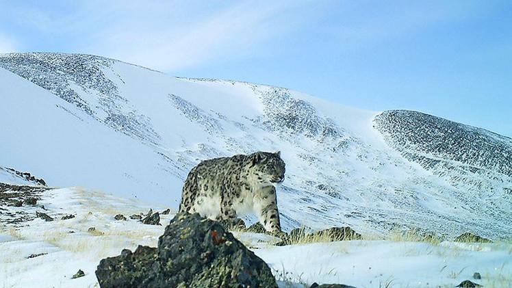 Video: Graban en Rusia imágenes insólitas de varios leopardos de las nieves