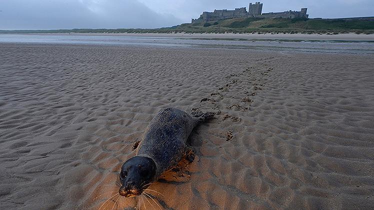 Sacrifican a cientos de focas en Escocia por comerse la pesca destinada a los turistas